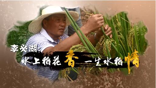 水上稻花香 一生水稻情